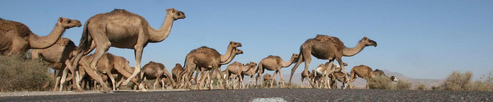 marokko-kamele_strasse